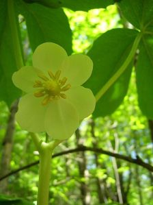 Mayapples are named not for their fruit, but for their blossoms, which are blooming right now and reminded the early namers of apple tree flowers. Photo courtesy of Cody Hough via Wikimedia Commons -