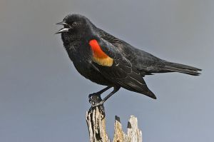 The star of the wetland songbird stage, the red-winged blackbird (Agelaius phoeniceus) trills its high notes all summer.  Photo provided by Alan D. Wilson via Wikimedia Commons.