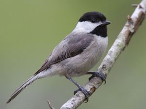 The Carolina Chickadee (Poecile carolinensis) by Dan Pacamo via Wikimedia Commons.