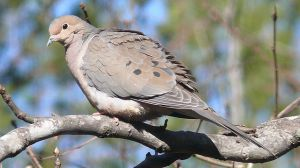 "Note the variety of beautiful grays on this bird:  from warm, brownish grays to cool, almost blue grays.  Looking at these doves really expands the meaning of the term ""dove gray"".  Photo by Ken Thomas via Wikimedia Commons."