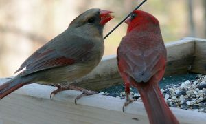 Here we see a mated pair of cardinals (Cardinalis cardinalis), female on the left and male on the right, at a feeder.  Another great photo by Ken Thomas via Wikimedia Commons.
