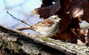 Check out the super white throat on this white-throated sparrow.  The names we give animals are more often descriptive than creative, but if you get bored there's nothing wrong with calling them Bob or Sally for short.  The photograph is another great one from Ken Thomas via Wikimedia Commons.