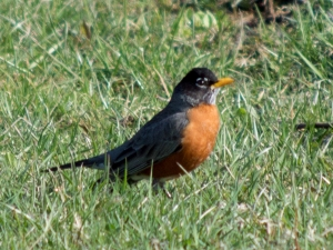 "It still baffles me that these are so often called ""robin redbreast"" when their chests and bellies are so obviously orange, not red.  This photograph is mine, I took it last spring in Heritage Park."