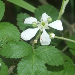 Five petals and plenty of thorns - you can bet this blackberry (Rubus allegheniensis) is related to the wild rose.  I took this photo in Louisiana in March of 2012; they bloom two months earlier that far south.