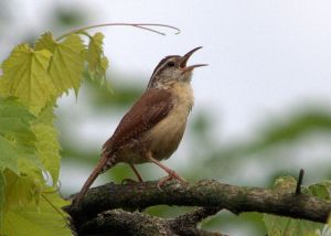 """Cheeseburger, cheeseburger, cheeseburger"" sings this spunky little Carolina wren (Thyrothorus ludovicianus), captured and shared by Cheep Shot via Wikimedia Commons."