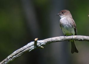 This tail-wagging member of the flycatcher family of birds was fabulous to watch even if I never got a decent photo.  This excellent shot was provided by Manjithkaini via Wikimedia Commons.