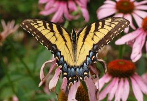 The Eastern Tiger Swallowtail (Papilio glaucus) is shown here feeding on a native coneflower (Echinacea purpurea).  Photo courtesy of Derek Ramsey (Ram-Man) - via Wikimedia Commons