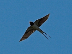 Check out those long outer tail feathers on this barn swallow (Hirundo rustica) in flight.   Photo courtesy of Alpsdake via Wikimedia Commons.
