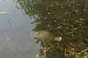 This is my (sad) shot of the snapping turtle at the corner of the pond.  Even after considerable digital editing, you can't see as much of the turtle as I'd like.  Not only does surface reflection interfere, but the turtle's back is covered with muddy algae that helps it blend in with the bottom of the pond.
