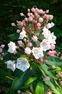This mountain laurel (Kalmia latifolia) is just beginning to bloom.  It is a cousin to the rhododendron; both are in the Heath family of plants.