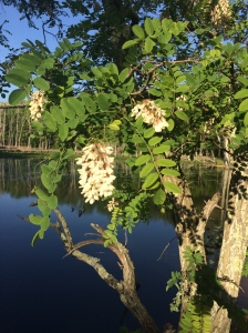 Black locust (Robinia pseudoacacia) posing prettily in the evening sun at Pandapas Pond.
