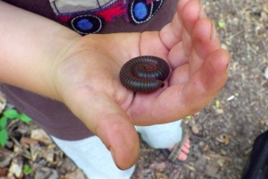 The North American millipede all curled up in Diego's little hand.