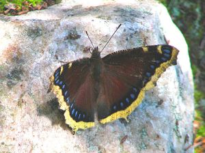 "The mourning cloak (Nymphalis antiopa) butterflies were likely named by Scandinavian settlers in America, according to Wikipedia.  A widespread species, this butterfly is called a ""Camberwell beauty"" in England.  However, its limited northward range would have meant that Scandinavians would have been less familiar with it.   Photo courtesy of D. Gordon E. Robertson via Wikimedia Commons"