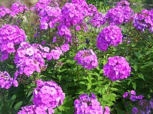 This photo of phlox (Phlox paniculata) is taken in bright sun.  In the shade of the forest edge, the blossom color is a bit darker and much deeper. Photo courtesy of Atilin via Wikimedia Commons