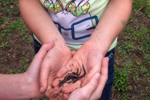 Queen of the Salamanders holding three Eastern red-backed (Plethodon cinereus) salamanders in her hand.  She and her BFF, whose hands are just beneath hers, spent the morning catching the slippery fellows and sharing them with the younger kids.  They were very careful to put the salamanders back in the moist leaf litter before their skin dried out.