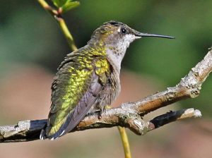 The ruby-throated hummingbird (Archilochus colubris) we saw was a female, like the one pictured here, but had less sparkly and duller green feathers because she was flying in the shade.  This fabulous specimen was captured by Dick Daniels and provided via Wikimedia Commons.