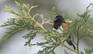 The best time to see rufous-sided towhees is in the spring; they live and hide in the underbrush of the forest, but in spring they hop up to higher branches to better broadcast their mating song.  Photo by William H. Majoros via Wikimedia Commons.