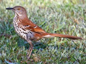 A brown thrasher holding still.  My respect for this Carolina bird photographer, Dick Daniels, knows no bounds.  Photo provided via Wikimedia Commons.