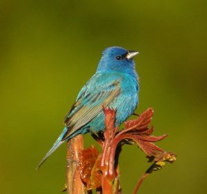 Every beautiful blue in the whole wide world, it seems, lives in the feathers of the male indigo bunting, captured here by Kevin Bolton and provided by Wikimedia Commons.