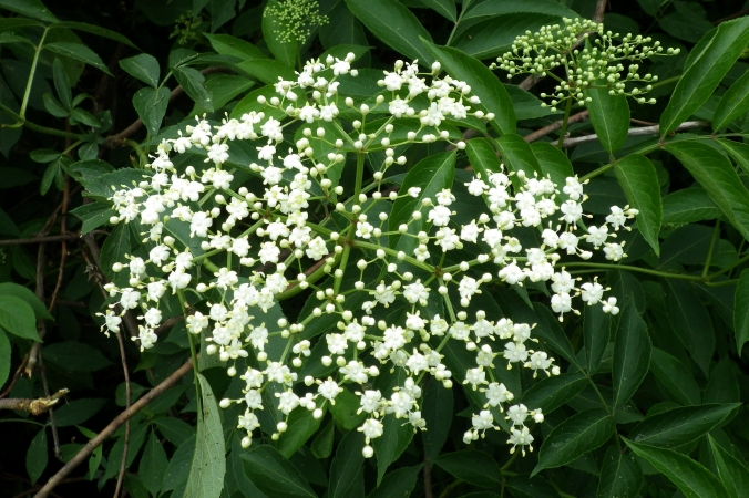 This particular cluster of elder flowers is only half-bloomed.  Later, the blossoms will give way to tiny, purple-black berries that are a staple food source for wild birds.  If you can beat the birds to them, the berries can be used to make jelly or, even better, wine!