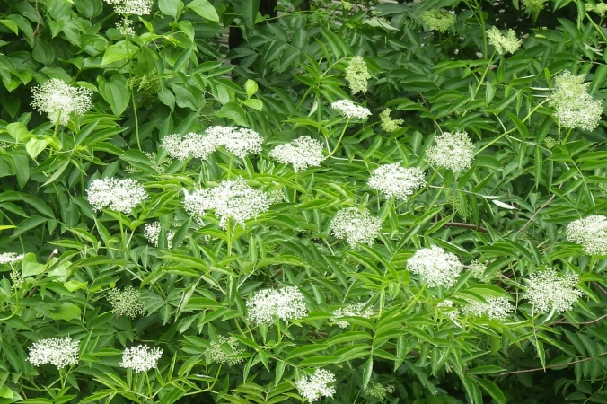 The elderberry (Sambucus canadensis)  bushes are blooming in flat topped clusters of tiny white flowers.  Look for them in moist forests and at road sides.