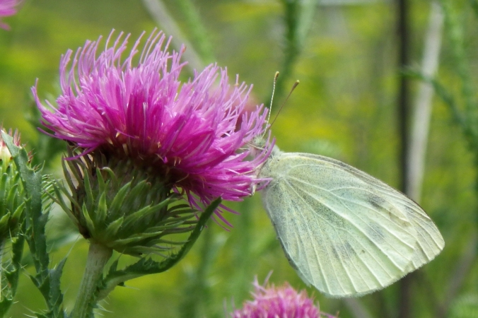 The field thistles (Cirsium discolor) are just beginning to blossom, but the butterflies and bees have already found them.  This cabbage white butterfly (Find a thistle and you'll find a treasure trove of pollinators to study.  You'll also likely spy an American goldfinch (Carduelis tristis) checking the plant for any ripe seeds, which are their main source of food; it isn't until the thistle blooms that the goldfinches will breed - they want to be sure of a steady food source for their nestlings.