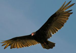 A soaring turkey vulture (Coragyps atratus) shows those long, white feathers I think of like the pale insides of my arms.  Photo courtesy of Roy W. Lowe via Wikimedia Commons.