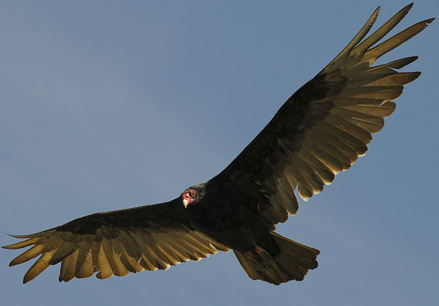 Turkey_Vulture_(7172188840)