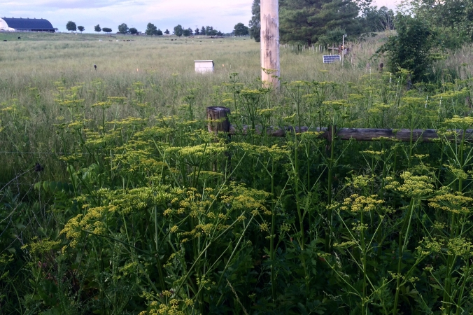 Wild parsnip (Pastinacea sativa) from afar looks like a dusting of gold on top of tall (5-6 foot), flat elf umbrellas.  Look for it in open fields and on roadsides.