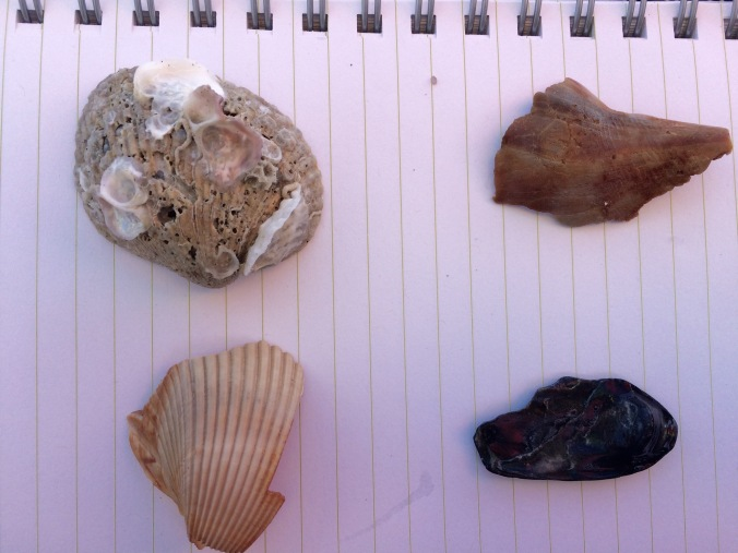 Going clockwise, starting in the upper left we have an unknown, possibly clam, shell.  But look at all of the cool mother of pearl on it - other shelled creatures were beginning to grow on it!  On the upper right we see part of a whelk shell.  On the lower right, my best guess is a part of a blue mussel shell (it wasn't white inside, which would indicate oyster).  Finally, on the lower left, based on size and vertical ridges, I think it's a cockle shell.    I photographed all of these shells against the white background of my 9x6 inch travel journal. The color of the page looks a bit pink because my chair sat beneath the fuchsia section of our rainbow beach umbrella.
