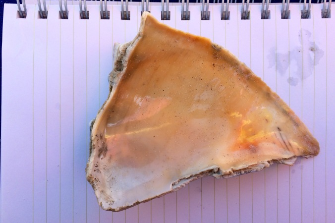 Look at that beautiful, delicate peach on the inside of the whelk shell!
