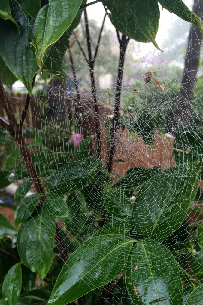 This stunning web sat just about at eye-height in a young dogwood tree in my backyard.  I would have hated to destroy such fine work.  Then again, spiders rebuild and/or repair their webs daily, so the little lady that made this would have caught her next meal with no trouble, regardless.