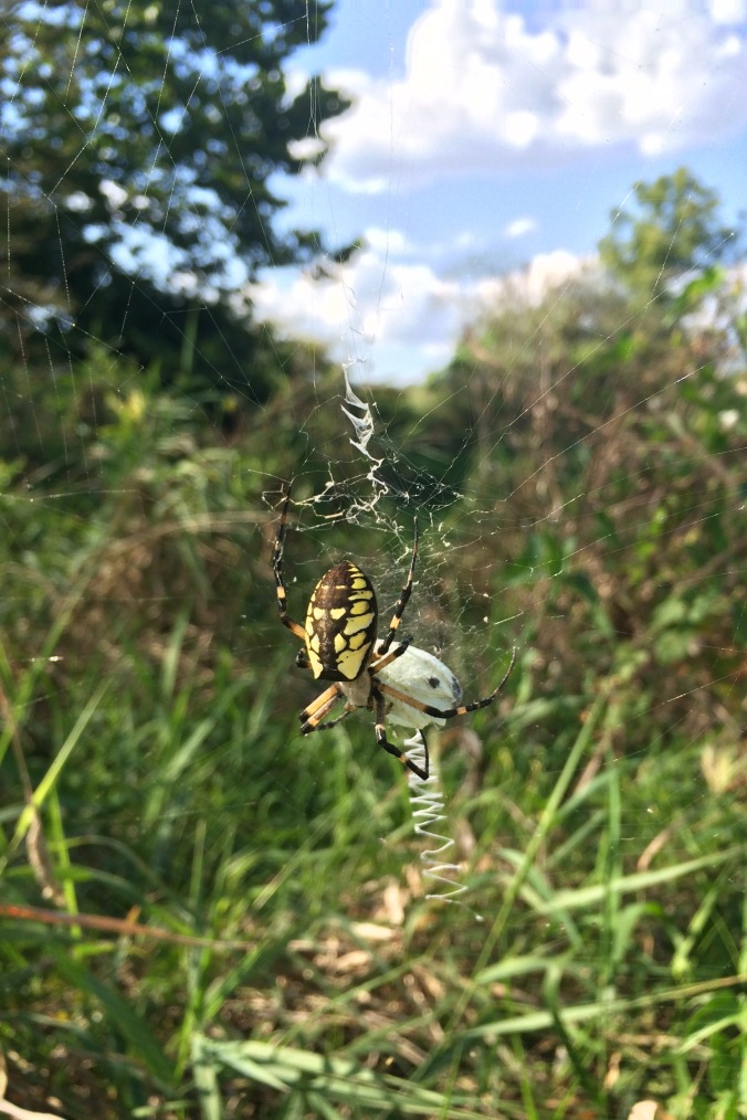 Okay, here's the big mama Argiope I promised.  You can see she's protecting the egg sack she recently made.  She's a little larger than a half dollar, legs included.  She was gorgeous!