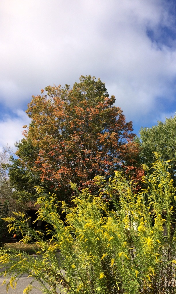 Maple and Goldenrod