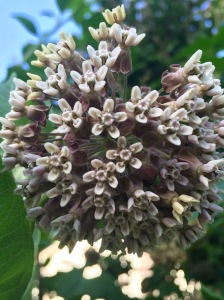 This is a close up of common milkweed (Asclepias syriaca) blooming in my garden in June.