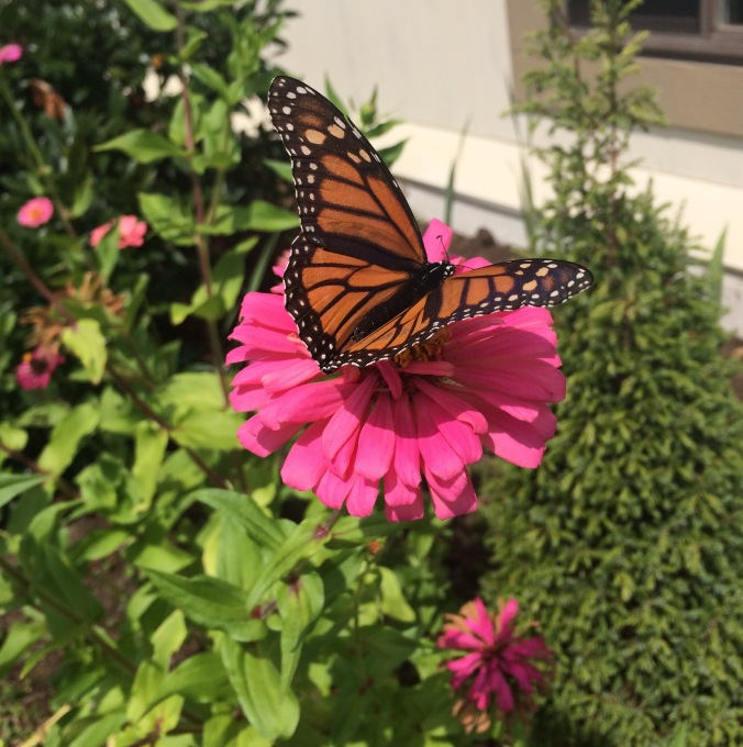 "Brightly colored zinnias are butterfly magnets!  Here we see a monarch sipping nectar from a bright pink ""Monster"" zinnia."