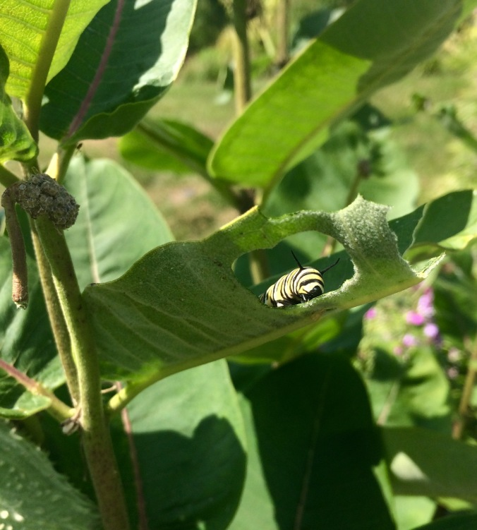 Hello, little fellow!  Monarch caterpillars don't mind the toxins in the milkweed leaves they eat; that's what makes them poisonous to would-be predators!