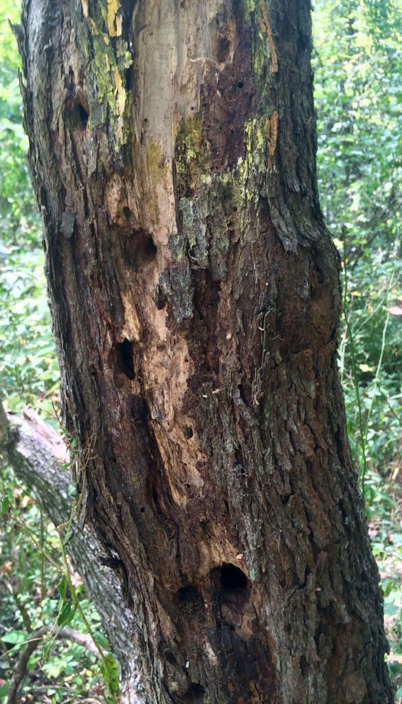 Woodpeckers have made good work of this tree!  Dead and dying trees, called snags, provide a lot of habitat for woodland creatures and are very important to the forest ecosystem.