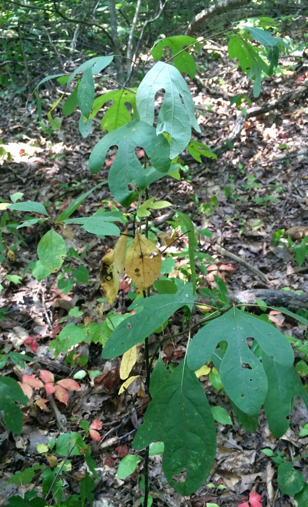 """This small sassafras (Sassafras albidum) is one of my favorite trees because of its varied leaf shapes.  While identification books say only that the leaves have one to three lobes, I prefer to remember them as """"simple leaf"""", """"mitten"""", and """"trident"""" shaped.  You can see all three on this one specimen!"""