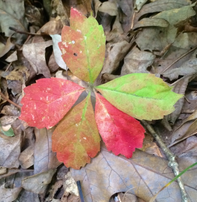 I caught this tiny Virginia creeper while it was changing.  I bet by the next day all five leaves were scarlet.