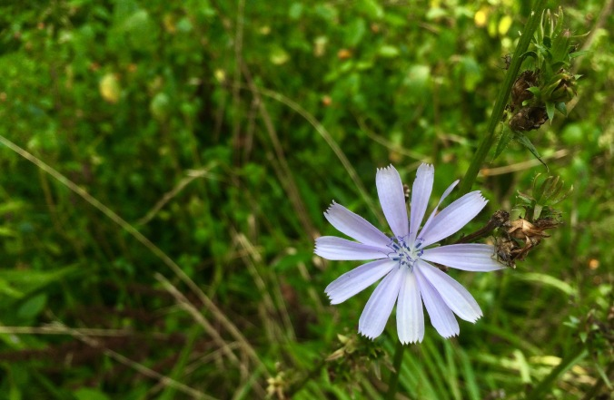 Couldn't resist a close up on the chicory.
