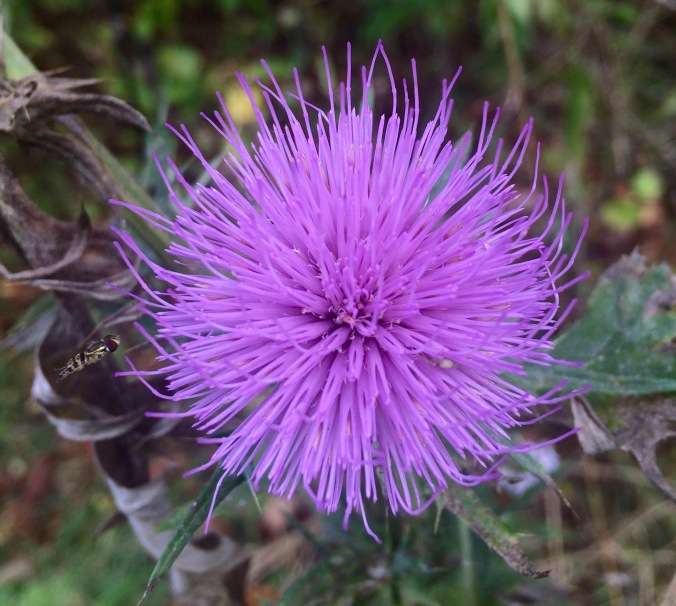 The only thistle blossom I found on the whole trail.  It's my second nomination for a new shade of purple.