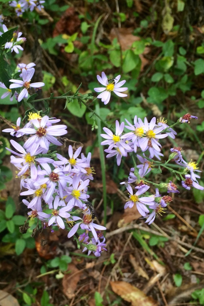 It's my contention that there aren't enough words to describe the many shades and tints of purple. (Violet, royal, lavender, orchid, and lilac aren't cutting it.) I hereby nominate a new name:  pale aster - a purple so near to white that you have to look twice.