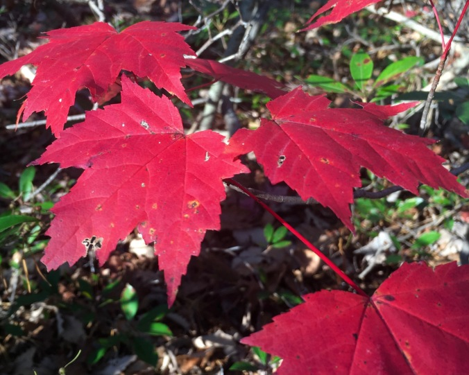 Though most of the deciduous trees are already bare, a few crimson leaved specimens highlight the mountain trails. Here is a young maple, showing off it's cranberry foliage. The red pigments in leaves (unlike the orange and yellow pigments) are manufactured only in the autumn as light decreases and temperatures turn cooler.