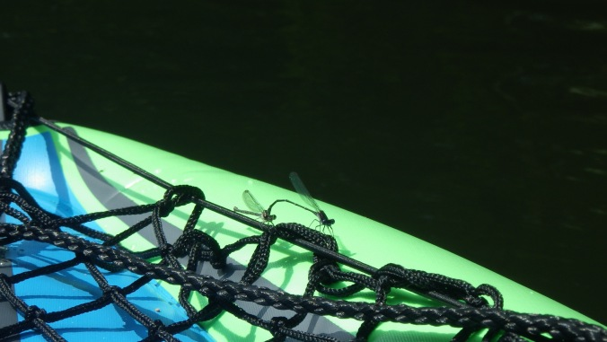 From the middle of summer to the first freeze, the lake air is filled with dragonflies and damselflies fulfilling their biological duties. They'll land just about anywhere, including the arms of a swimmer, in order to have a stable platform for their love nest. Here we see two future parents who have alighted on my kayak's bow.