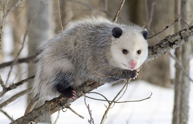 1024px-Opossum_1