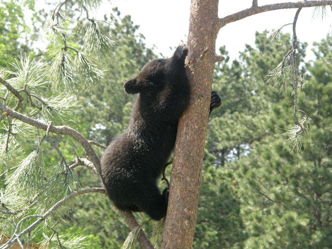 1200px-Tree_Climbing,_Bear_Style