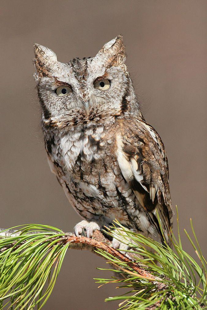 800px-Eastern_Screech_Owl