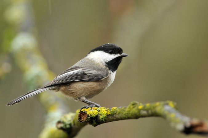 1024px-Black-capped_Chickadee_in_the_Rain