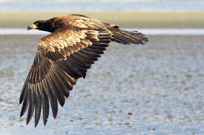 1024px-Juvenile_Bald_Eagle